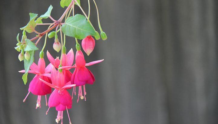Fucsia, cea mai vesela dintre plante