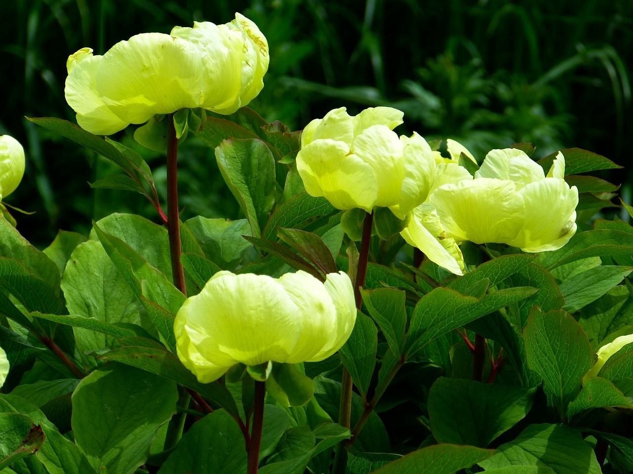 Intretinerea bujorilor sfaturi practice si utile pentru for Plante utile