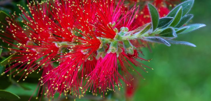 floare rosie pamatuf