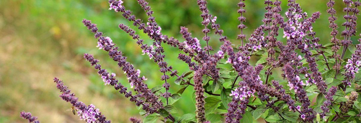 Plante medicinale de nelipsit de la tine din gradina