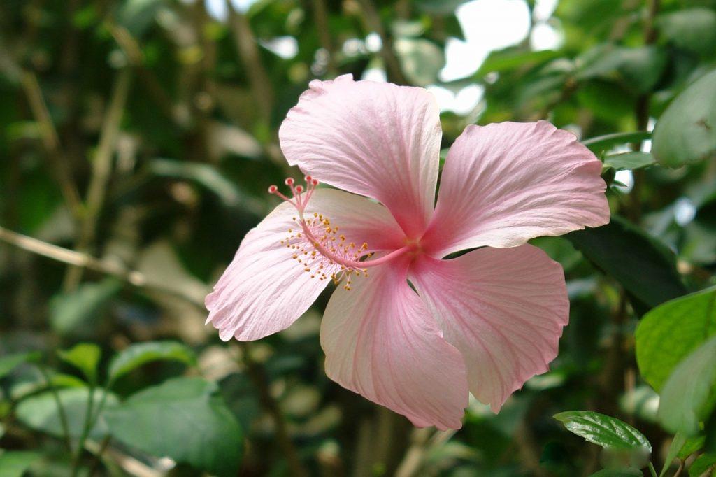 Trandafirul de Abisinia