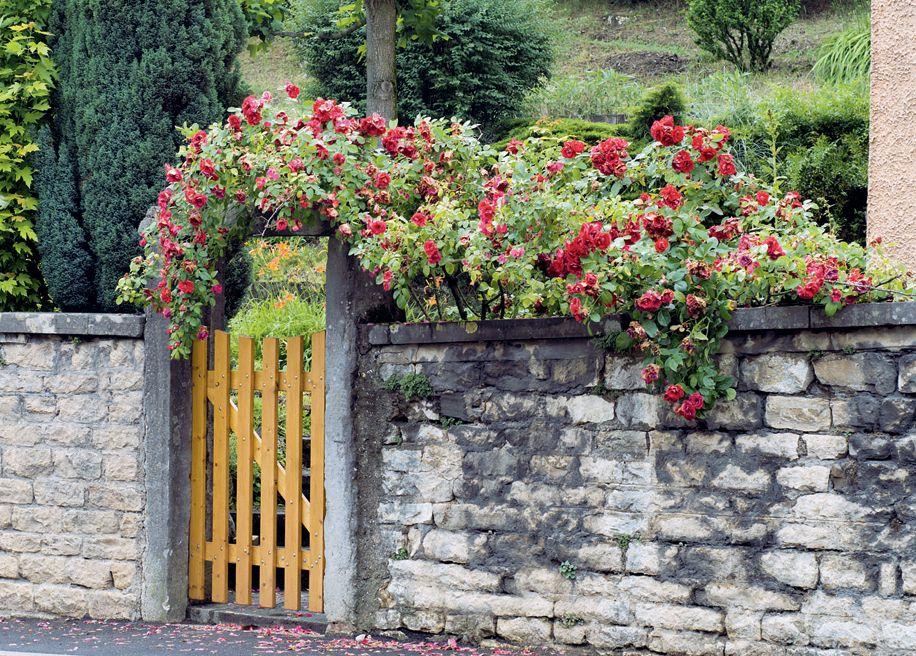 Flori  pentru case si gradini  - Pagina 5 Trandafiri