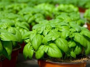 plante aducatoare de noroc, plante frumoase, plante verzi