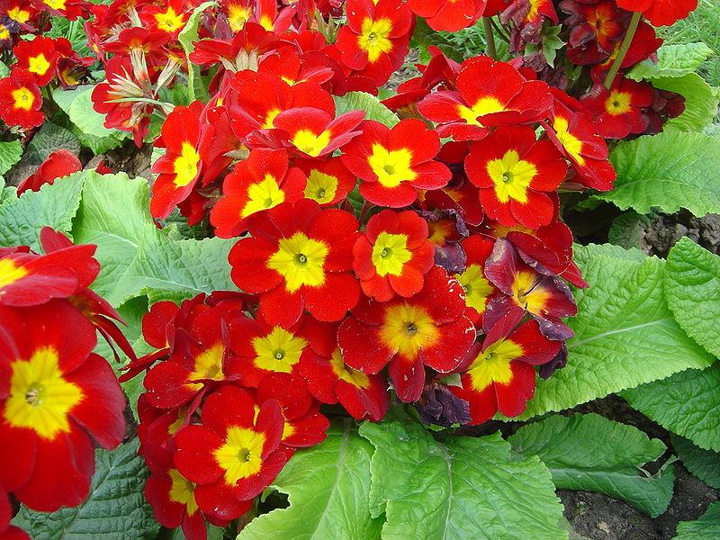 Primule florile primaverii in plina toamna casa i gr dina for Primule immagini