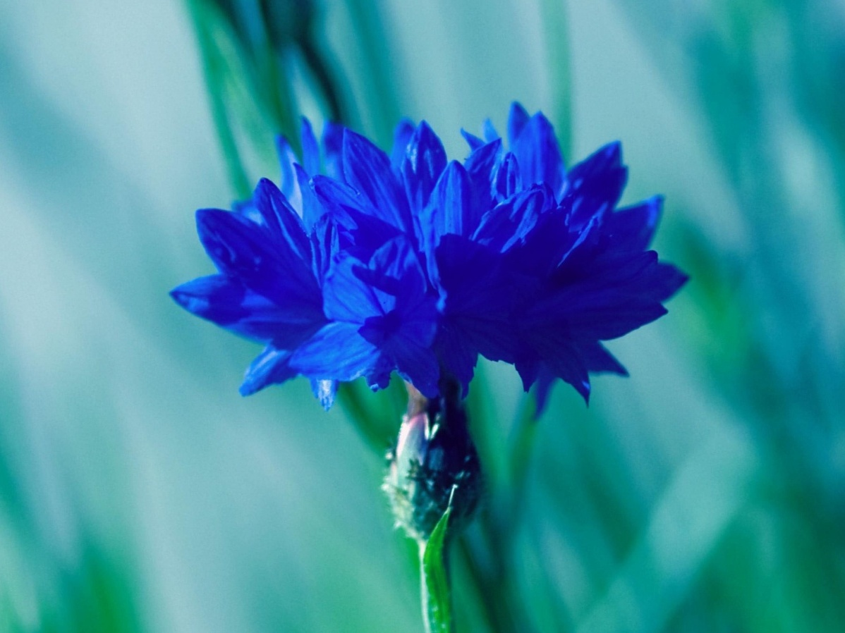 plante albastre