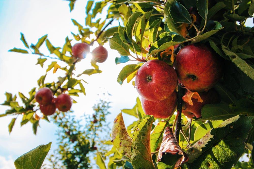 Plantarea pomilor fructiferi, sezonul de toamnă. 10 sfaturi utile