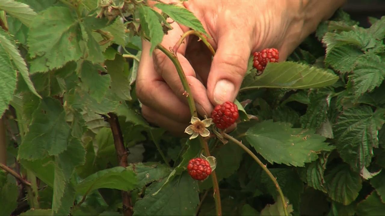 Plantarea arbustilor fructiferi toamna (2)