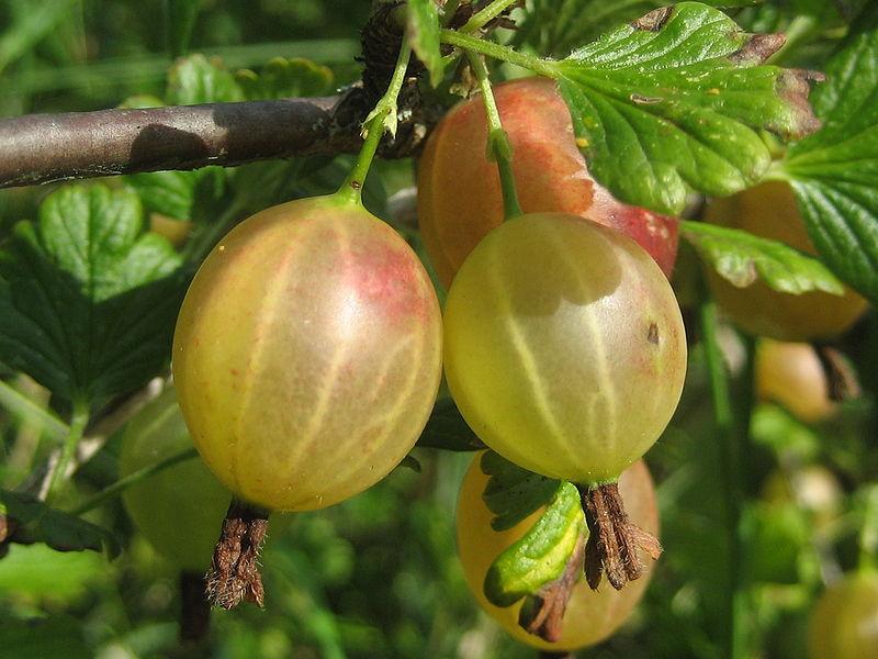 Plantarea arbustilor fructiferi toamna (4)
