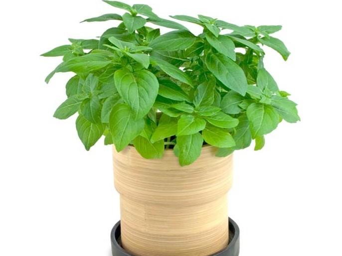 Busuioc in ghiveci cateva sfaturi pentru o planta for Basilico in casa