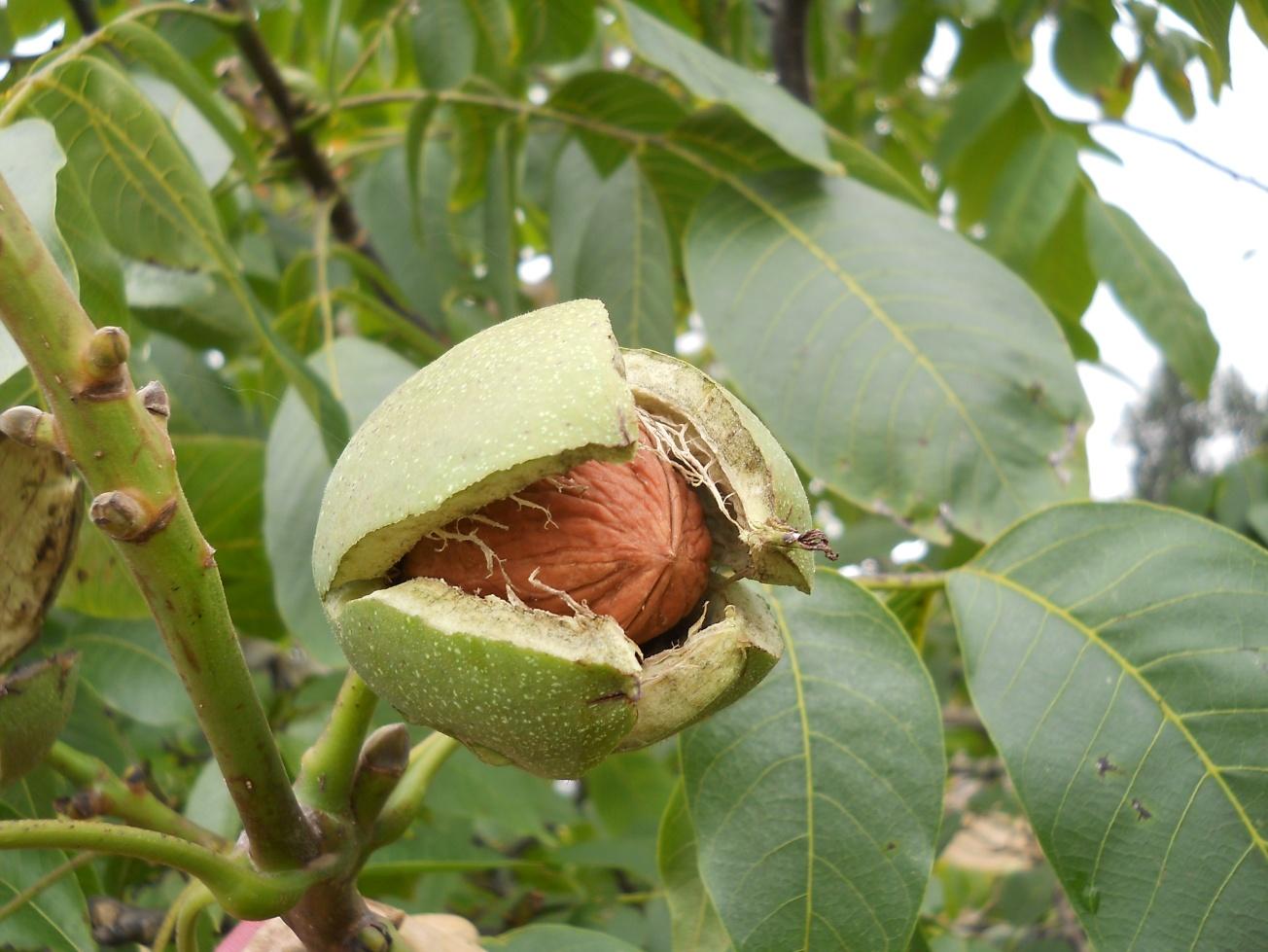 plantarea nucilor altoiti