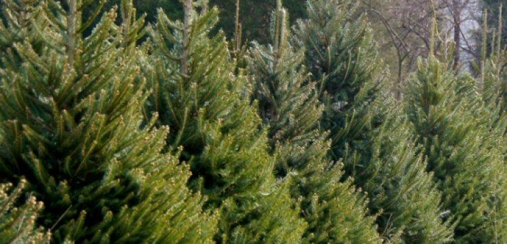 plantarea bradului din ghiveci (4)