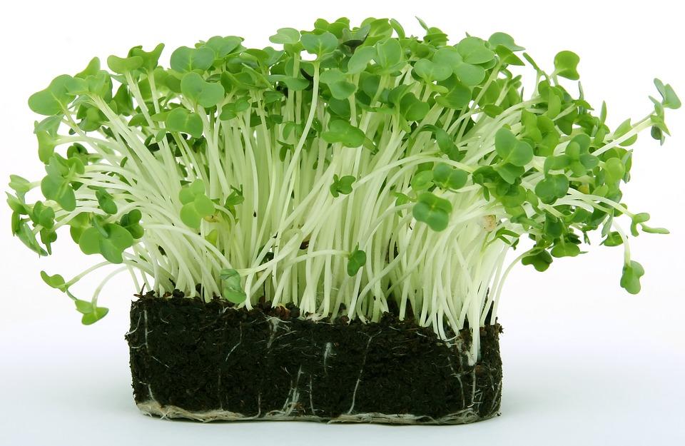 Planta care vindecă orice boală, planta preferată a egiptenilor care ar trebui să-și găsească locul în fiecare grădină. Antidotul nicotinei, inhibă dezvoltarea cancerului la sân, eficient in tratamentul cistitei si a vezicei urinare