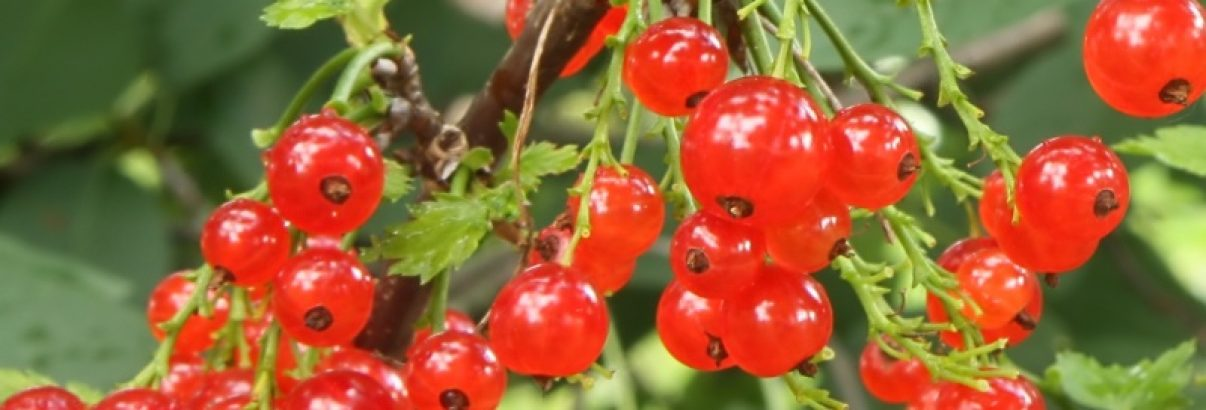 De ce este plantarea arbuștilor fructiferi toamna, prima alegere. Și ceva în plus