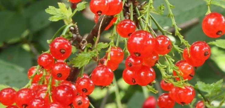 plantarea toamna, fructe d ecocaz rosu, fructe de padure