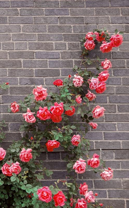 taierea trandafirilor urcatori primavara