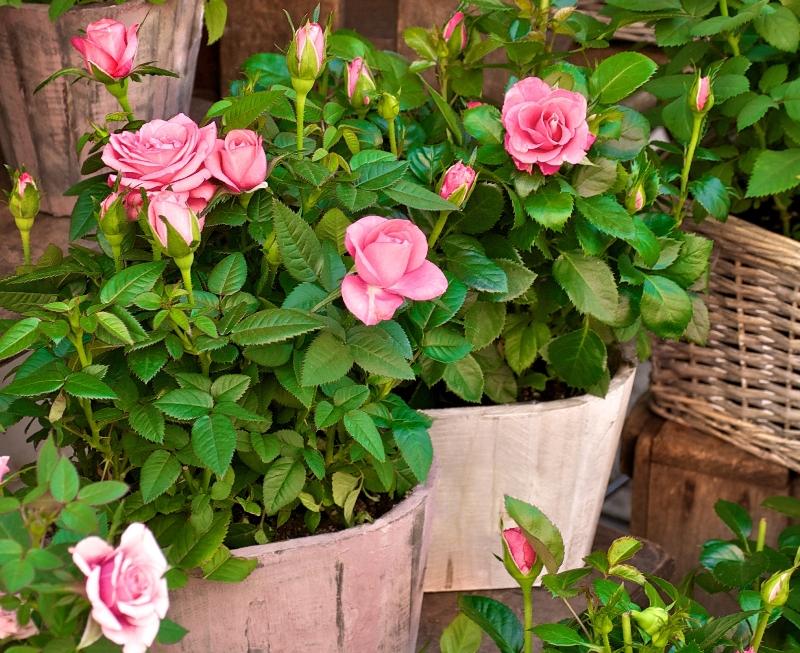 Trandafirii pitici (2)
