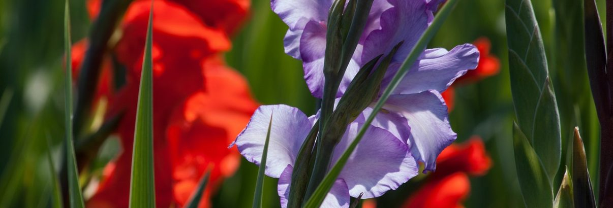 Gladiolele. Plantare si ingrijire