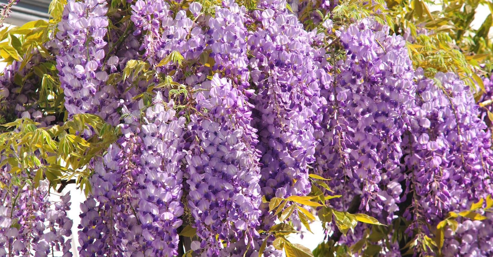 Glicina mov frumoasa japoneza casa i gr dina for Glicina planta