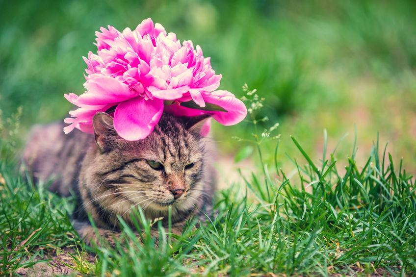 pisica bujor