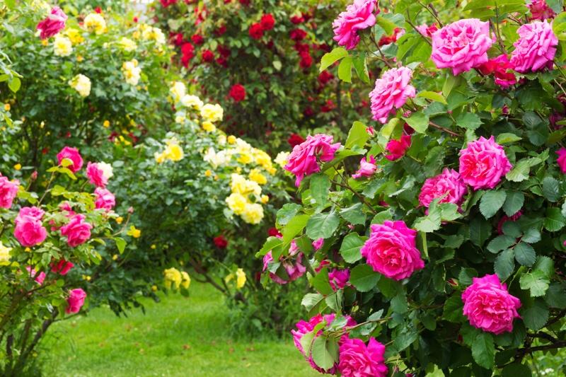 Flori  pentru case si gradini  - Pagina 5 Taierea-trandafirilor-vara-Copy