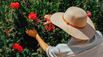 taierea trandafirilor