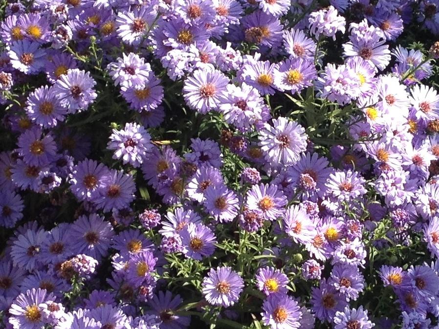 Aster Sau Ochiul Boului Flori De Toamna