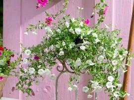 flori curgatoare pentru balcon