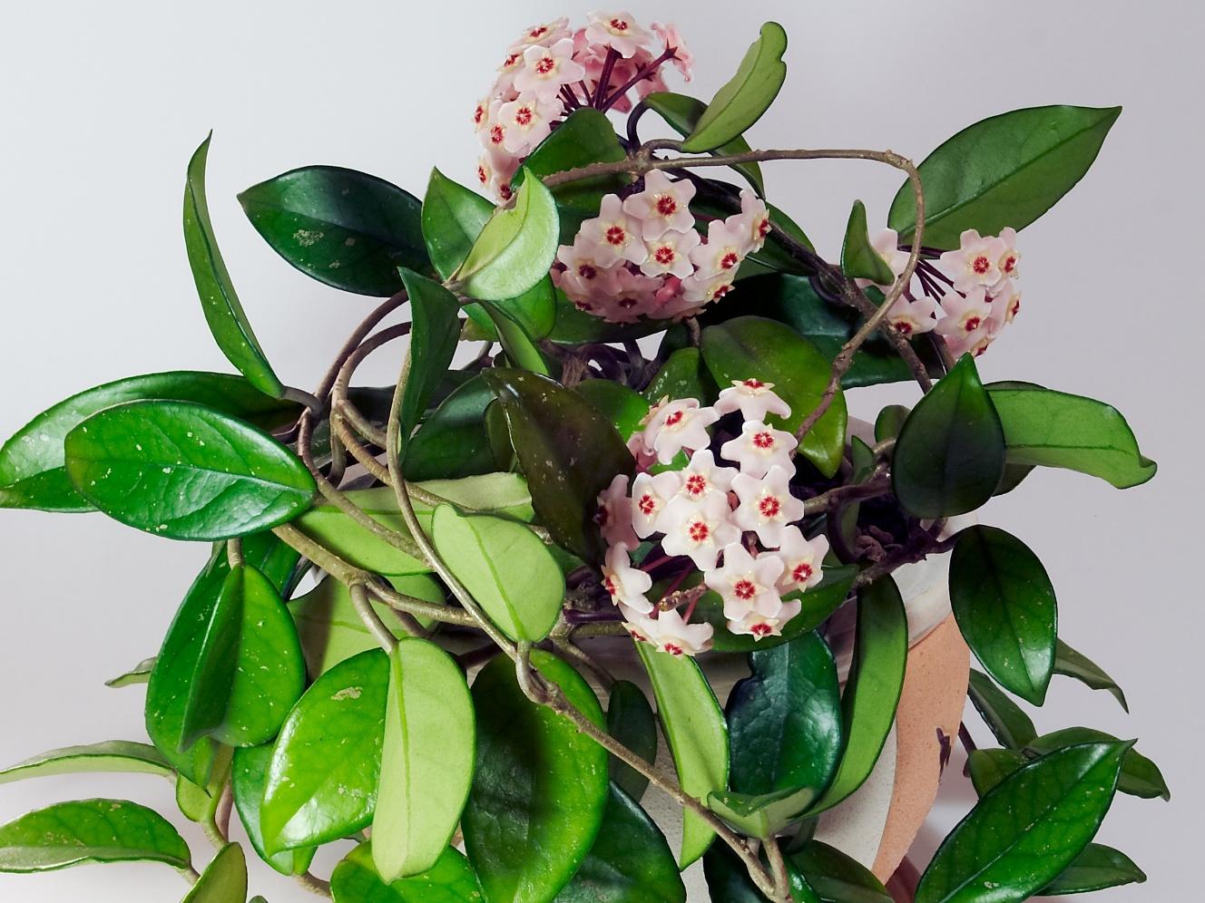 floarea de cear ideal ca planta de apartament. Black Bedroom Furniture Sets. Home Design Ideas
