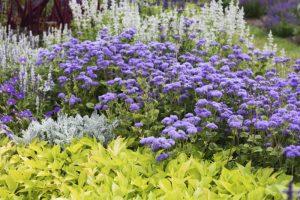 Cineraria si flori de vanilie
