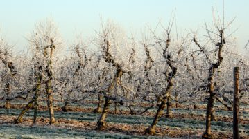 taiere pomi iarna