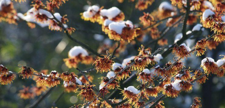 plante impodobite hamamelis