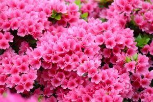 flori de top