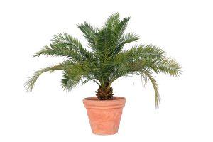 palmieri-curmali