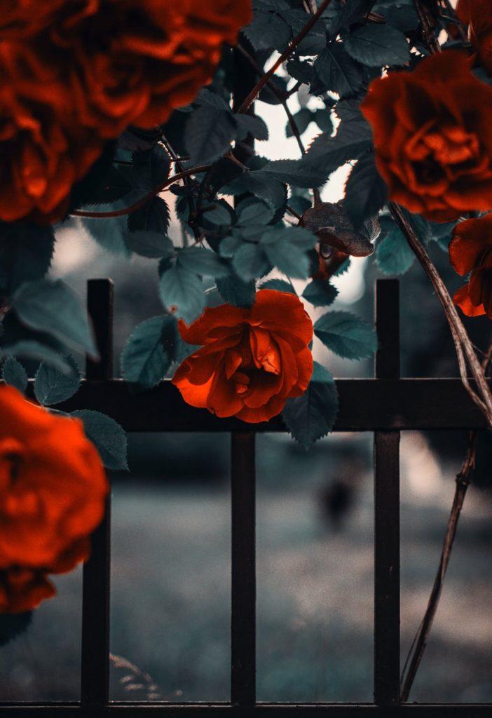 totul despre trandafiri, trandafiri rosii