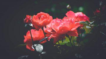 totul despre trandafiri, buchet d etrandafiri rosii