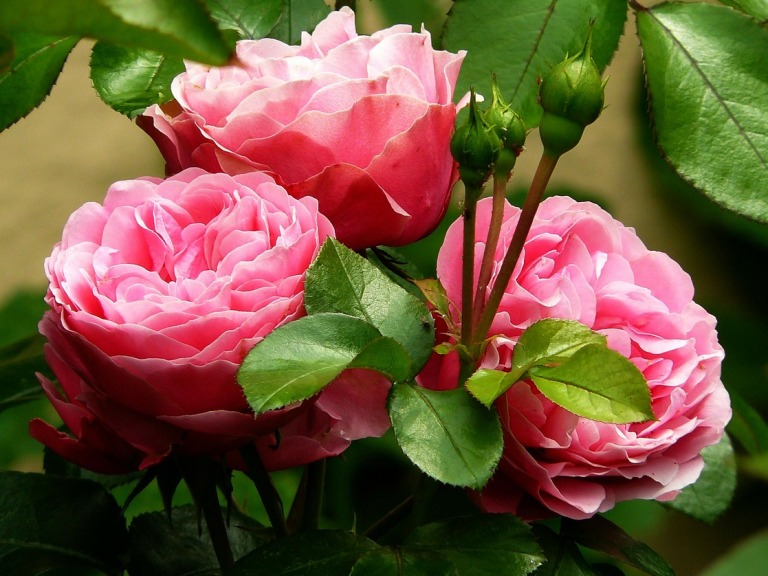 tăierea trandafirilor primăvara (1)