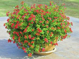 muscata englezeasca, geranium
