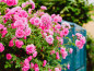 Trandafirii cataratori
