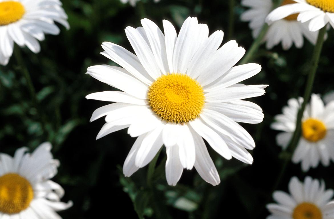 Margarete de gradin stelele pamantului casa i gr dina for Especies de plantas ornamentales