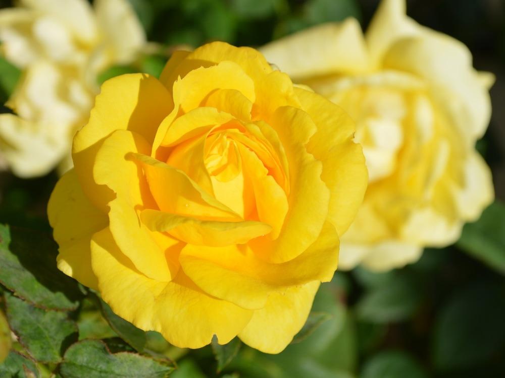 Flori  pentru case si gradini  - Pagina 5 %C3%AEnmultirea-trandafirilor
