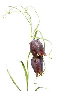 Fritillaria ussuriensis