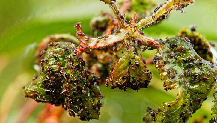 Cum scapi eficient de afide, păduchii plantelor