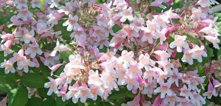 Arbuşti cu flori de mai