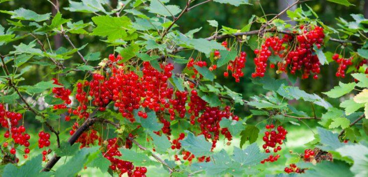 Fructele pădurii