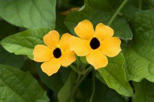 Plante dragi pentru balcon