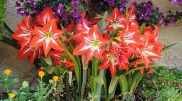 Bulbi cu flori