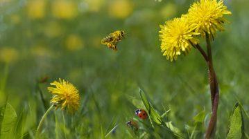 Insecte folositoare în grădină