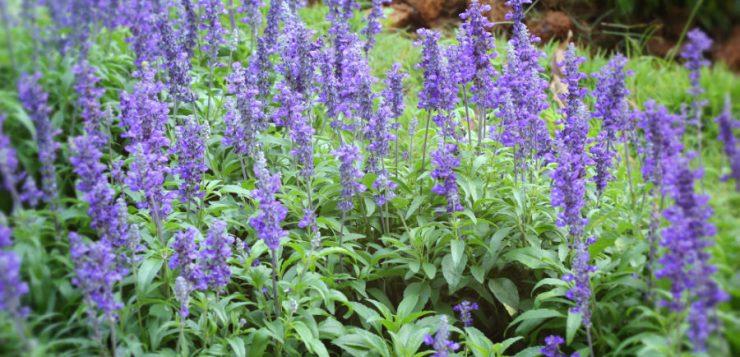 Salvia de grădină