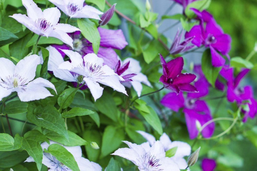 Flori  pentru case si gradini  - Pagina 5 Clematis-1-1024x683