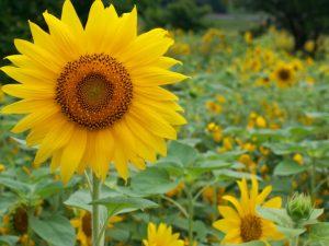 Floarea soarelui, lan de Floarea soarelui